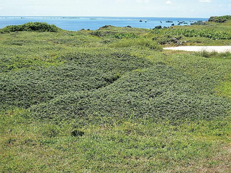 東平安名岬の隆起珊瑚礁海岸風衝植物群落01