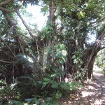 トマイ御嶽の植物群落